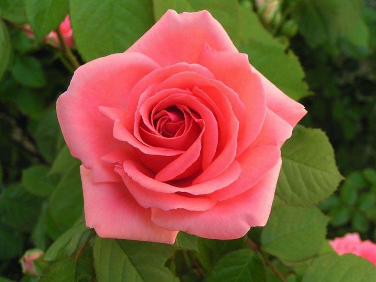 img/rose-rose.jpg